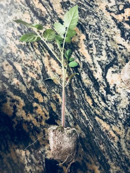 tomato-seedling-e1525020115464.jpg